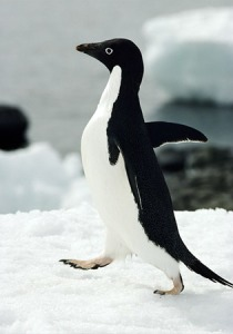 An adelie penguin goes for a jaunt. Image courtesy of National Geographic.