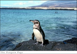 A galapagos penguin surveys its environs. Image courtesy of the Penguin Page.